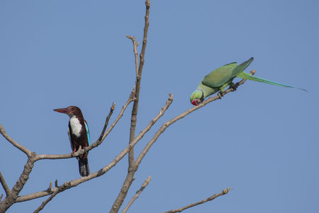 Bird: White Throated Kingfisher and Rose Ringed Parakeet  Perched on Tree