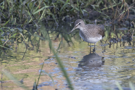 Bird:Portrait of Sandpiper Searching for Food