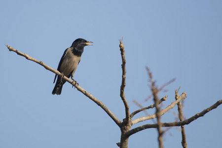 Bird: Portrait of a Singing Male Rosy Starling Perched on a Tree Branch