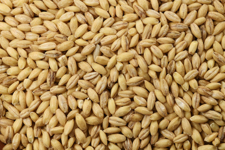 Food: Close up of Hulless Barley Shot in Studio 写真素材