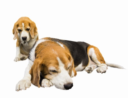 two five year old beagles relaxing isolated on white background 스톡 콘텐츠