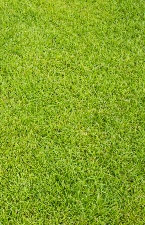 freshly lawn grass background