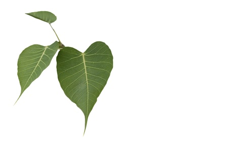 Three bhodi Leaves   spiritual tree  isolation on white background photo