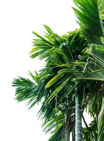 cycadaceae: Green leaves of palm tree , isolated on white background
