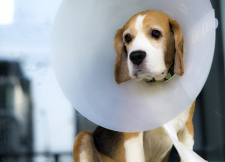 Beagle and veterinary collar protection 스톡 콘텐츠