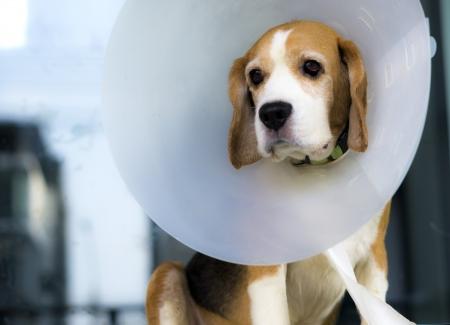 Beagle and veterinary collar protection Stock Photo