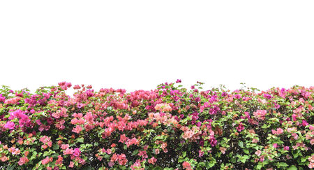 bougainvillea pink flowers wall isolated on white background Standard-Bild