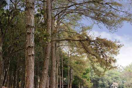 pinus sylvestris: Pine forest in the morning. Pinus sylvestris Stock Photo