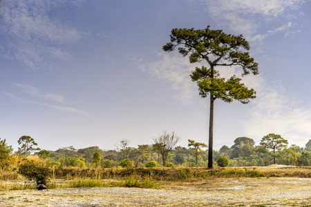 pinaceae: Alone Pinaceae in the forest morning : Thailand