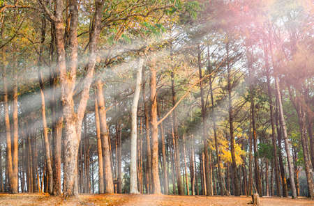 pinus sylvestris: Pine forest in the morning with sunray. Pinus sylvestris Stock Photo