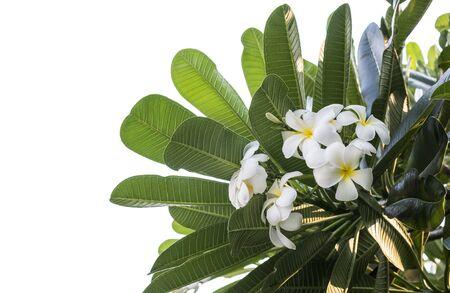 plumeria on a white background: plumeria obtusa over white background Stock Photo