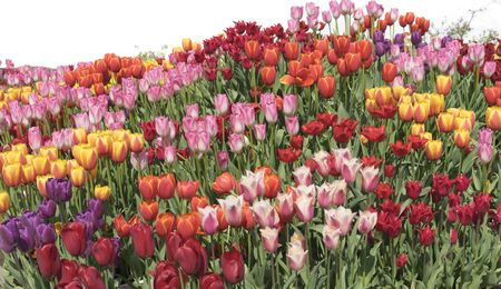 tulips field: Beautiful tulips field on white background