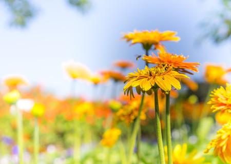 barberton daisy: Beautiful gerbera fields garden in winter