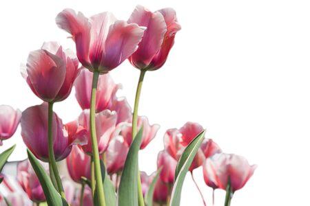 tulipan: Piękne tulipany na białym tle