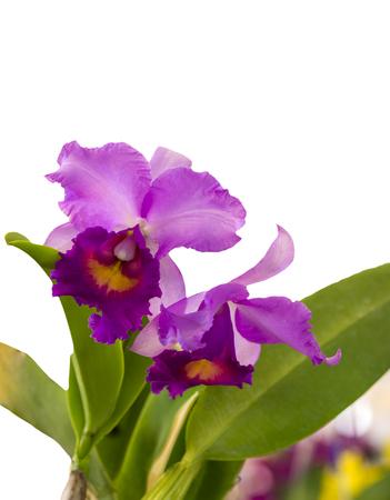 cattleya: Purple Cattleya Orchid isolated on  white background. Stock Photo