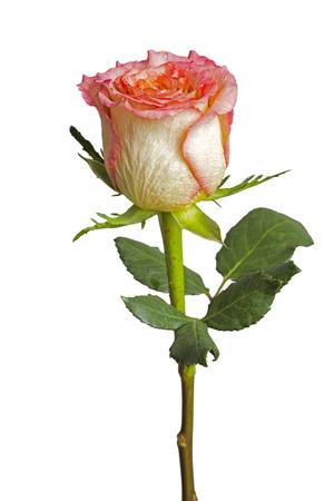 Stil: Beautiful pink rose , Isolated on white background Stock Photo