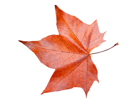 Maple leaf in autumn , Isolated on white background Stock Photo