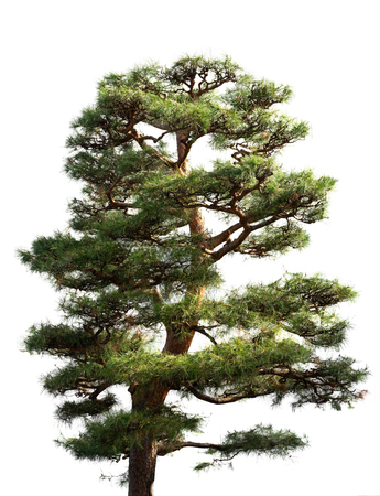 Pine tree in Japanese garden on white background 免版税图像
