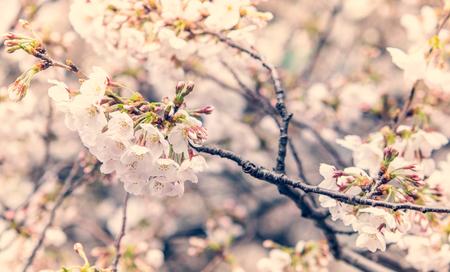 Selective focus of beautiful Sakura flowers or Cherry blossom in Japan