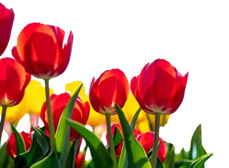 Beautiful and colorful of tulips field in the garden , Isolated on white background Standard-Bild - 126962906