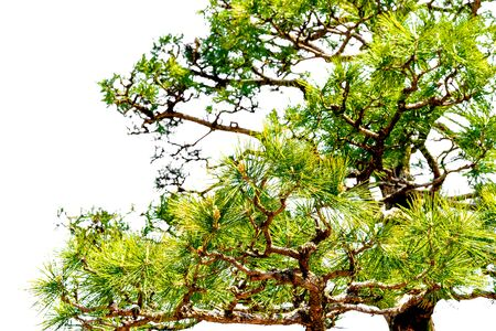 Japanese pine tree in the park : Isolated on white background Standard-Bild - 126962907
