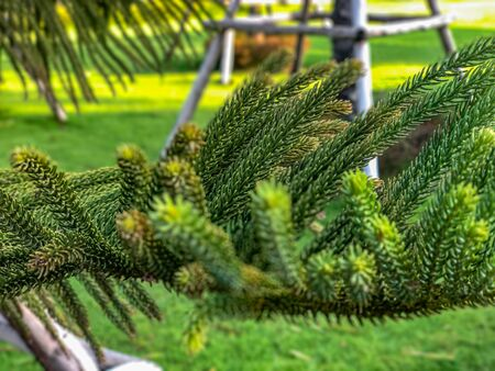 Close up and background defocus of   Araucaria cookii, Norfolk Island Pine in the park Standard-Bild - 126963110