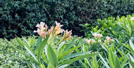 Ornamental plant and beautiful flowers decorated in the garden Standard-Bild - 126963112