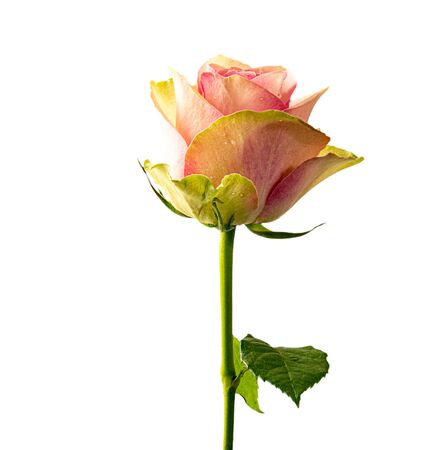 Beautiful and vibrant pink rose, Isolated on white background Standard-Bild - 130675063