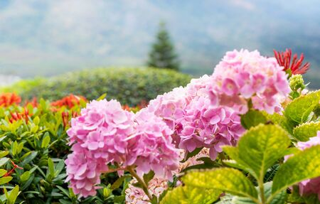 Selective focus of beautiful pink hydrangea in the garden with natural light Standard-Bild - 130674542