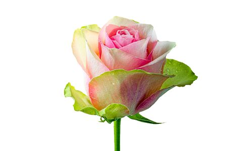 Beautiful and vibrant pink rose, Isolated on white background Standard-Bild - 130674154