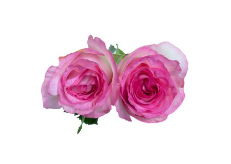 Top view of beautiful pink rose, Isolated on white background Standard-Bild - 130673473