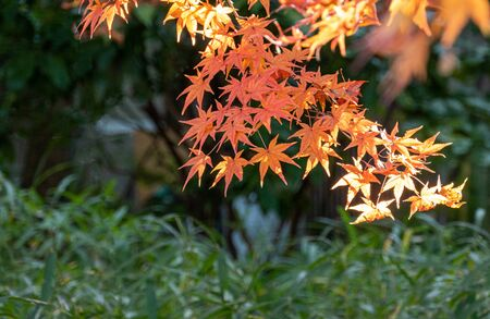 Selective focus of colourful maple leaves in autumn at Japanese forest Standard-Bild - 130672500