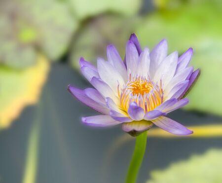 Purple water lily in a pond at Botanical garden Standard-Bild - 130672562