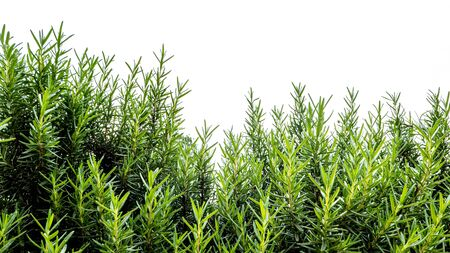 Beautiful green hedge for decorated in the garden , Isolated on white background Standard-Bild - 131976525