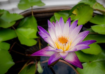 Beautiful single purple water lily in the garden Stock Photo