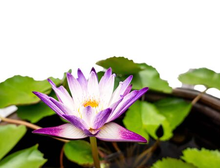 Beautiful single purple water lily in the garden , Isolated on white background Standard-Bild - 131291825