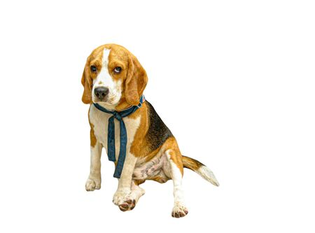 Purebred pedigree Beagle dog sitting , Isolated on white background