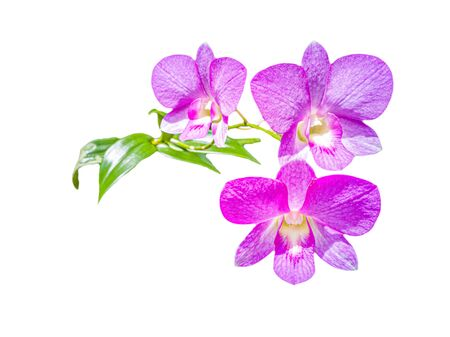 Beautiful purple orchid flower in the garden , Isolated on white backgrouns Фото со стока