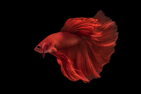 """Beautiful colors""""Halfmoon Betta"""" capture the moving moment beautiful of siam betta fish in thailand on black background Banque d'images"""