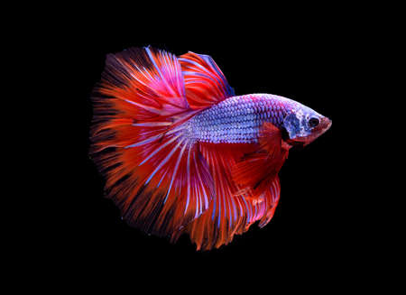 """Beautiful colors""""Halfmoon Betta"""" capture the moving moment beautiful of siam betta fish in thailand on black background Stock Photo"""