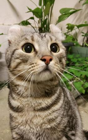 american curl: American Curl Cat  at night