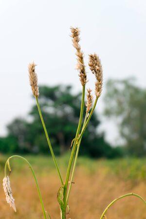 champ de mais: fleur fond d'herbe champ de ma�s Banque d'images