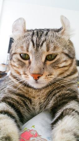 american curl: American Curl cat