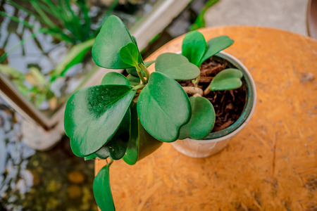 Kalanchoe Leaves in Potted plants On a wooden table.