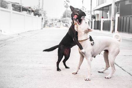Two dogs are fighting - playing on the road .