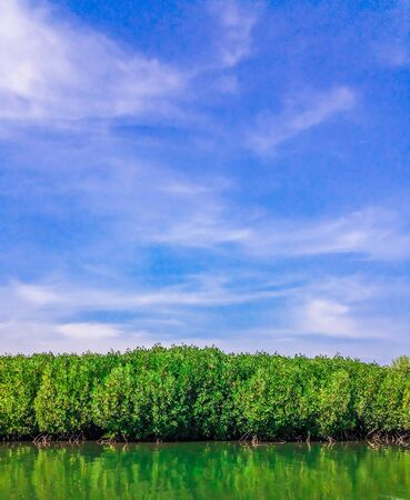 Mangrove forest in day On the bright sky , view from the water at a low tide period .