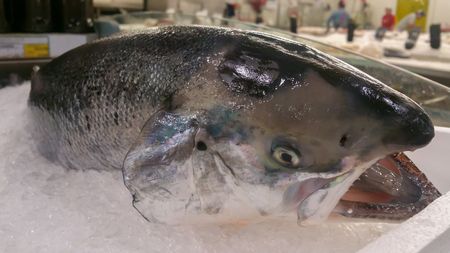 Salmon fish lying in the ice on the display in the Fresh fish market or supermarket.
