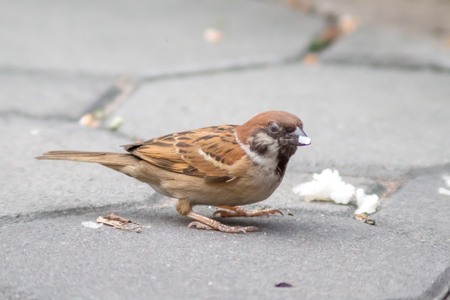 Sparrow bird or urasian Tree Sparrow ( Passer montanus ) standing on ground and Eating by the roadside