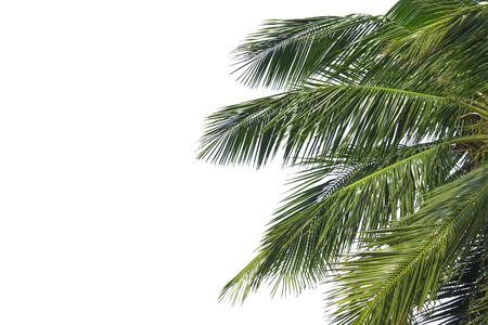 Hello summer floral with tropical green leaves Concept. coconut palm leaves isolated on white background