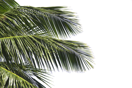 Hello summer floral with tropical green leaves Concept. coconut palm leaves isolated on white background Zdjęcie Seryjne - 104098724